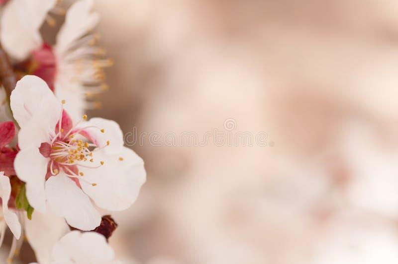 Rama de un árbol de la flor de cerezo foto de archivo