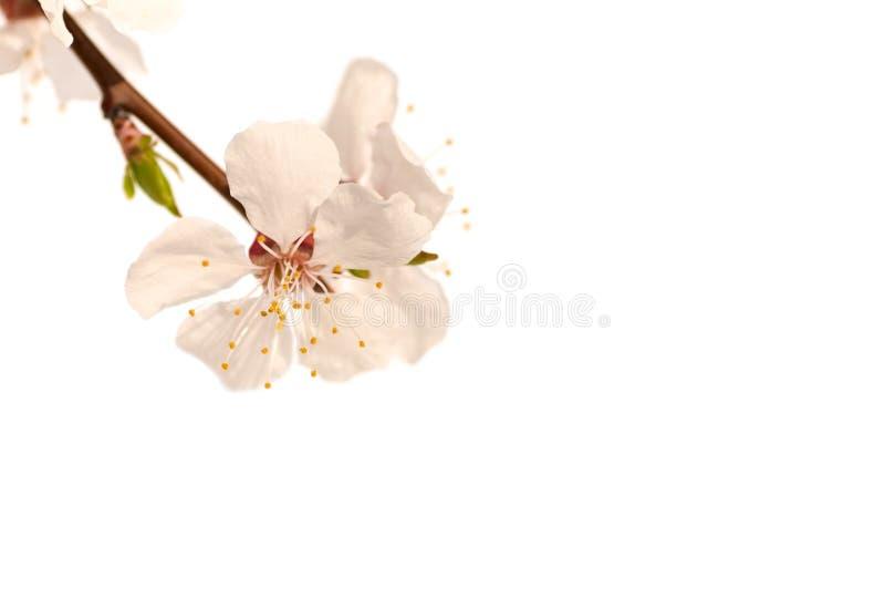 Rama de un árbol de la flor de cerezo, flor rosada imagen de archivo libre de regalías