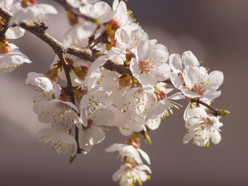 Rama de un árbol frutal maravillosamente de florecimiento fotos de archivo