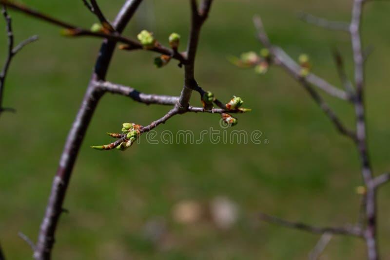 Rama de un manzano que crece las nuevas hojas imagenes de archivo