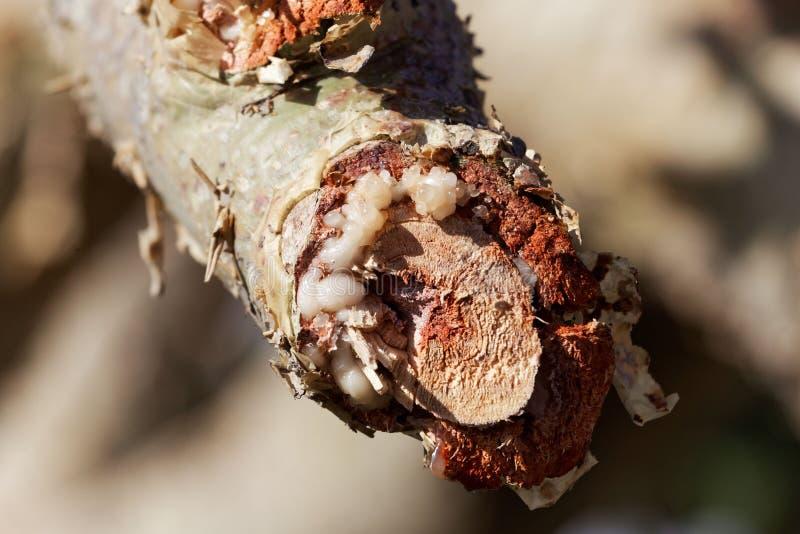 Rama de un papyrifera del Boswellia del árbol del incienso con el incienso blanco fotografía de archivo libre de regalías