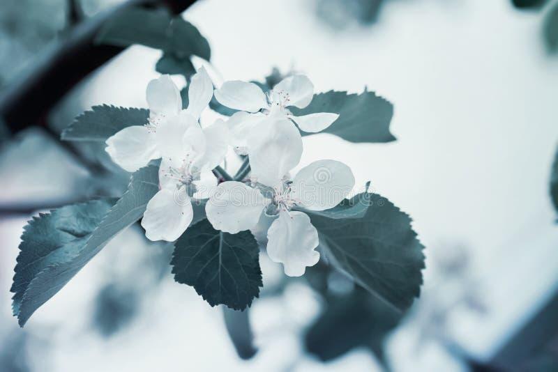 Rama de una cereza salvaje floreciente, cereza, ciruelo, primer de la manzana, fondo verde del follaje, concepto de primavera imagen de archivo libre de regalías