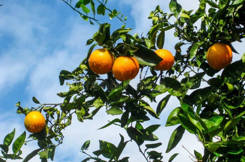 Rama del árbol anaranjado dulce con las naranjas fotos de archivo