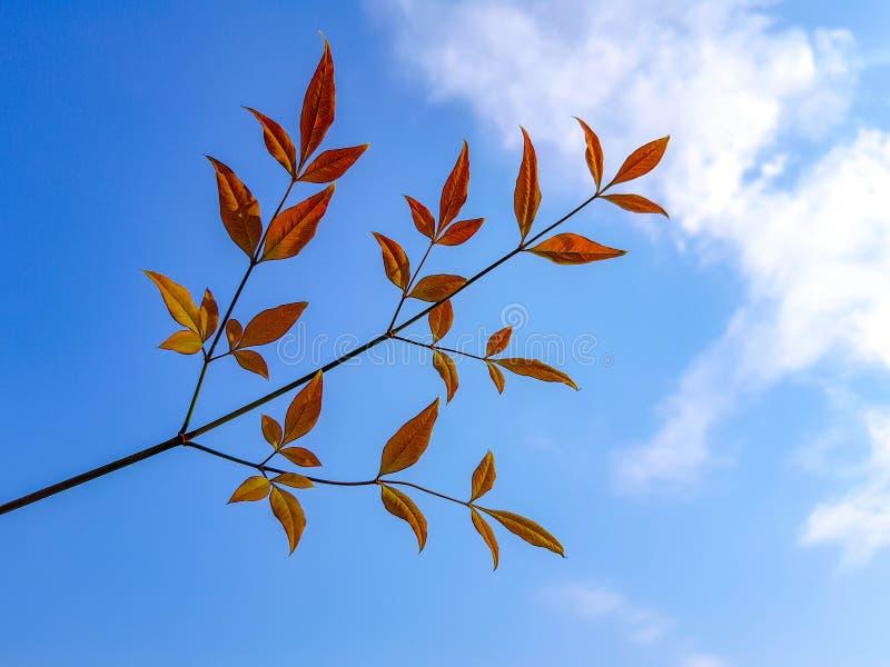 Rama del árbol con dos - tres hojas anaranjadas ramifican hacia fuera de las ramitas fotografía de archivo