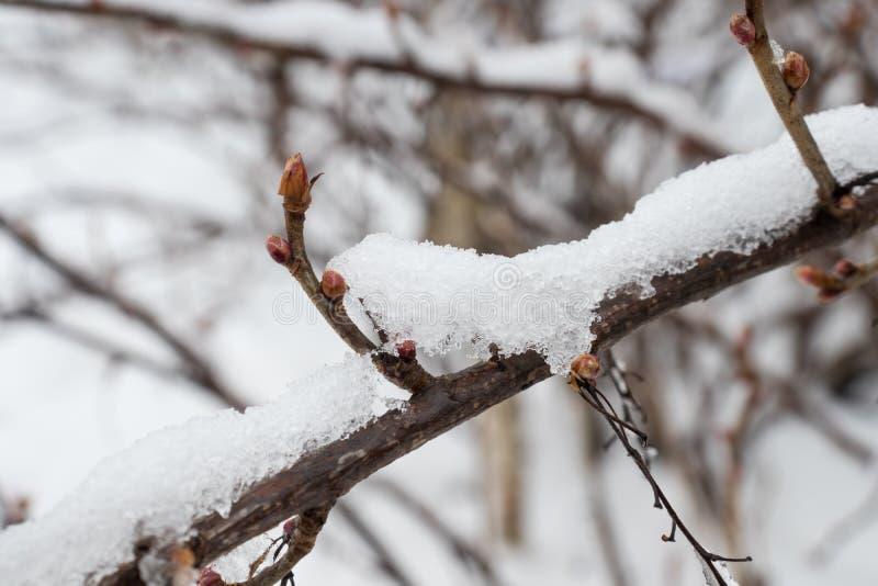 Rama del árbol con las hojas anaranjadas secas, cubierta con nieve imagen de archivo