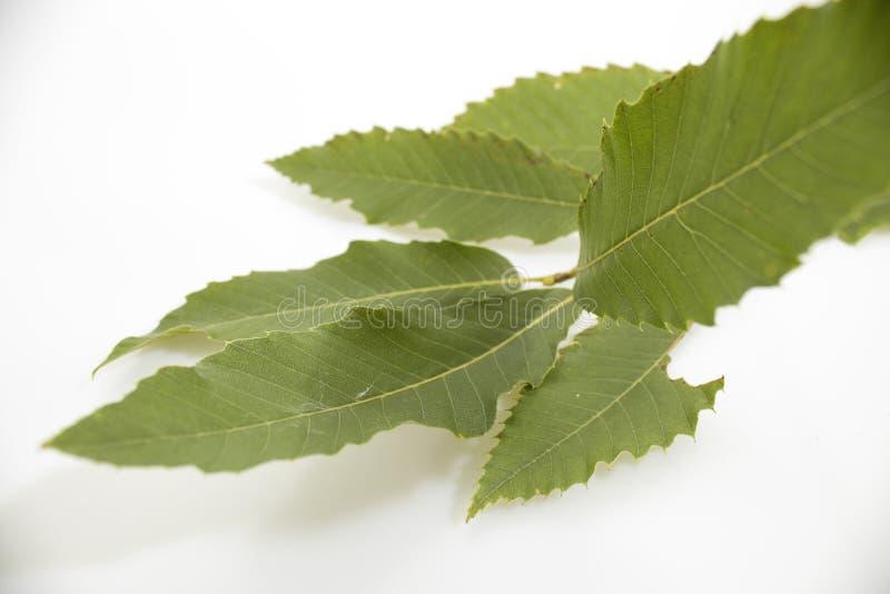 Rama del árbol de castaña con las hojas del verde aisladas en vagos blancos fotografía de archivo libre de regalías