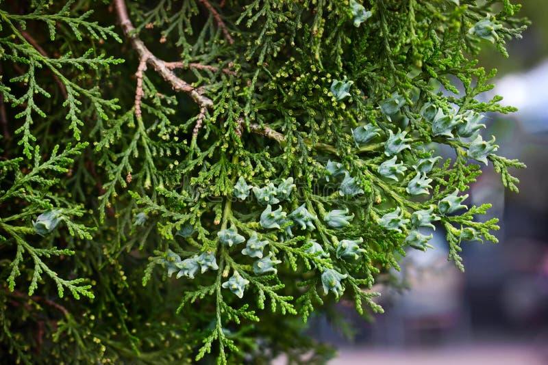 Rama del árbol de ciprés joven imperecedero fotografía de archivo
