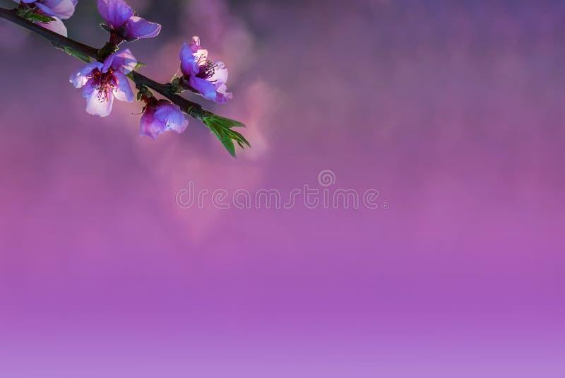 Rama del árbol de melocotón con las flores suaves del rosa y blancas en un fondo natural en los tonos rosados y púrpuras Bokeh imagen de archivo