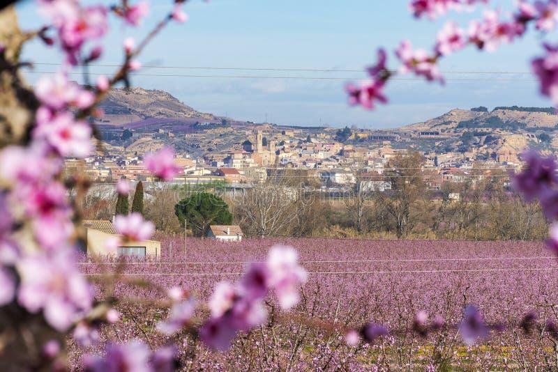 Rama del árbol de melocotón con las flores y los brotes rosados hermosos en primero plano y una vista de Aitona en fondo Día asol fotos de archivo