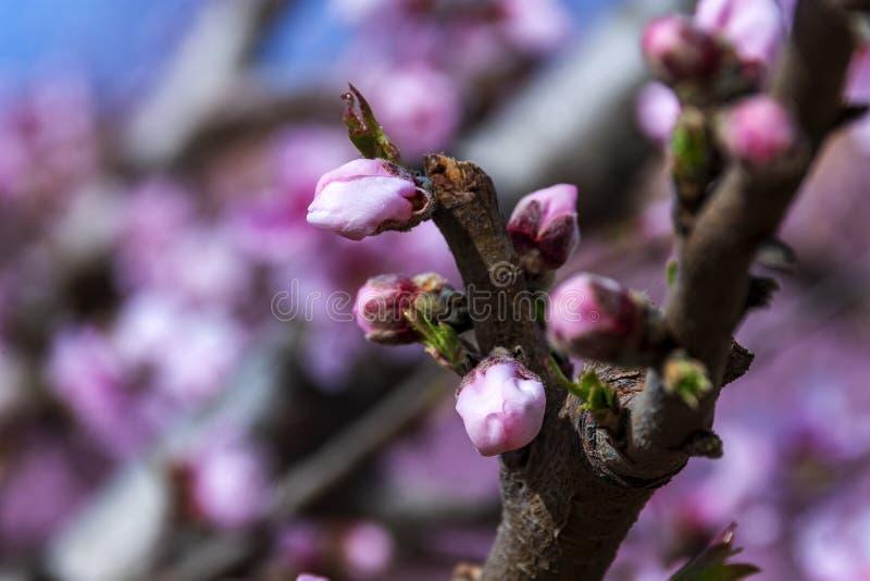 Rama del árbol de melocotón con las flores y los brotes rosados Primer Día asoleado Prunus Persica imágenes de archivo libres de regalías