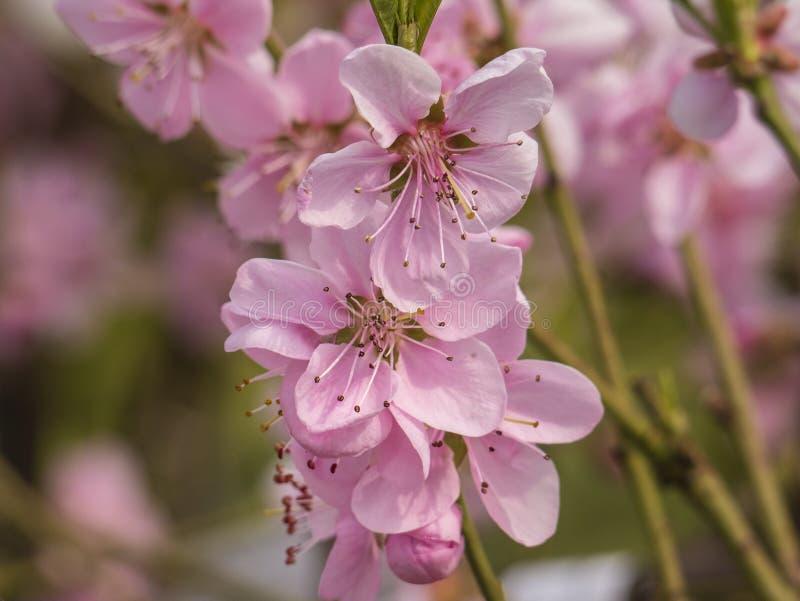 Rama del árbol de melocotón floreciente rosado del hielo Estaci?n de resorte ?rboles frutales para los jardines fotos de archivo
