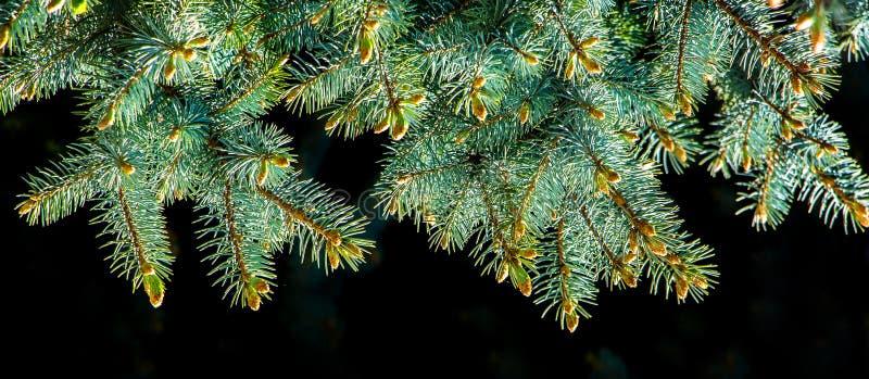 Rama del árbol de navidad con las agujas verdes frescas en background_ aislado negro fotos de archivo libres de regalías