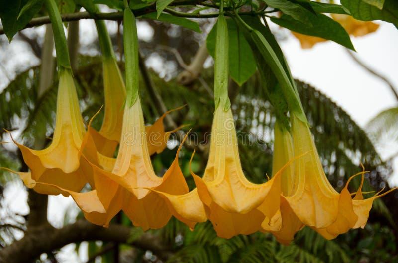 Rama del árbol de trompeta de Angel's en bosque del volcán de Hualalai foto de archivo libre de regalías
