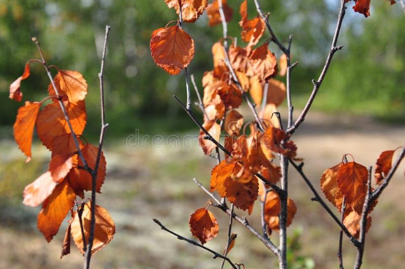 Rama del abedul con las hojas marrones secas en el fondo con verde Oto?o temprano fotografía de archivo libre de regalías