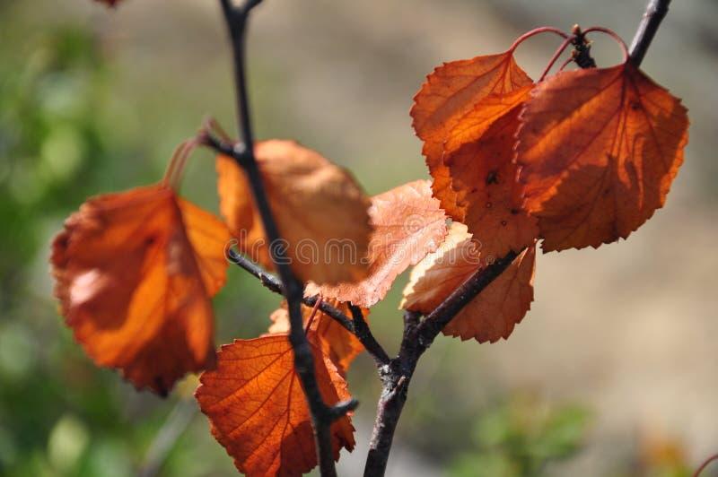 Rama del abedul con las hojas marrones secas en el fondo con verde Oto?o temprano fotos de archivo libres de regalías