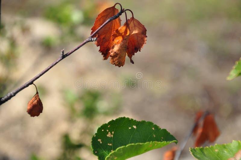 Rama del abedul con las hojas marrones secas en el fondo con verde Oto?o temprano imágenes de archivo libres de regalías