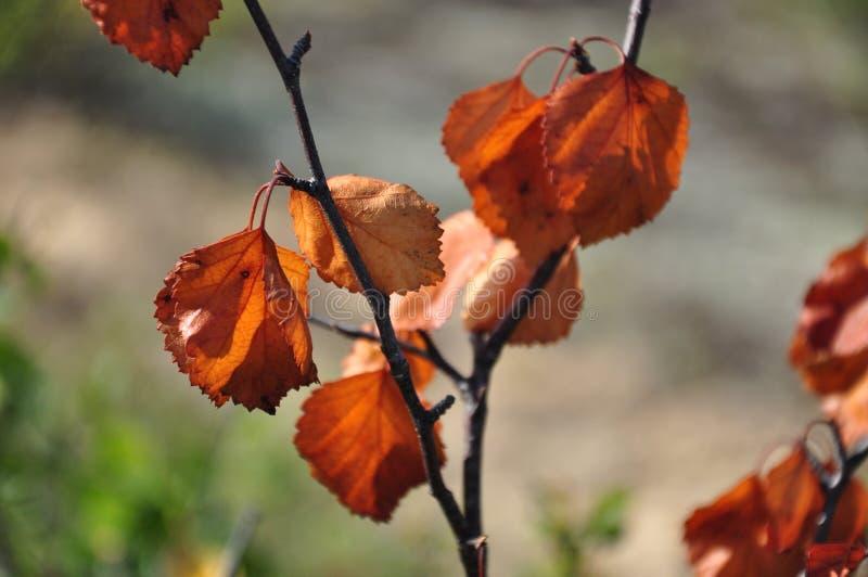 Rama del abedul con las hojas marrones secas en el fondo con verde Oto?o temprano fotos de archivo