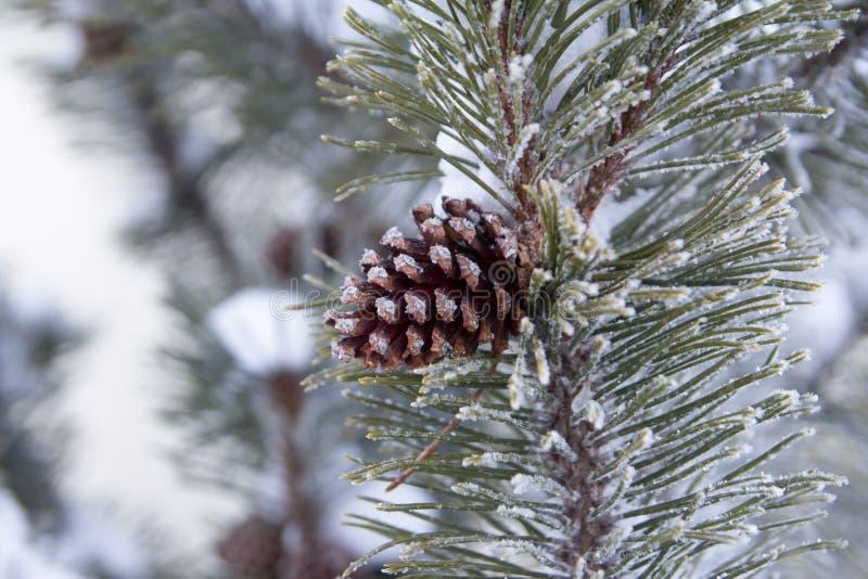 Rama del abeto con el cono y la nieve del pino fotografía de archivo libre de regalías
