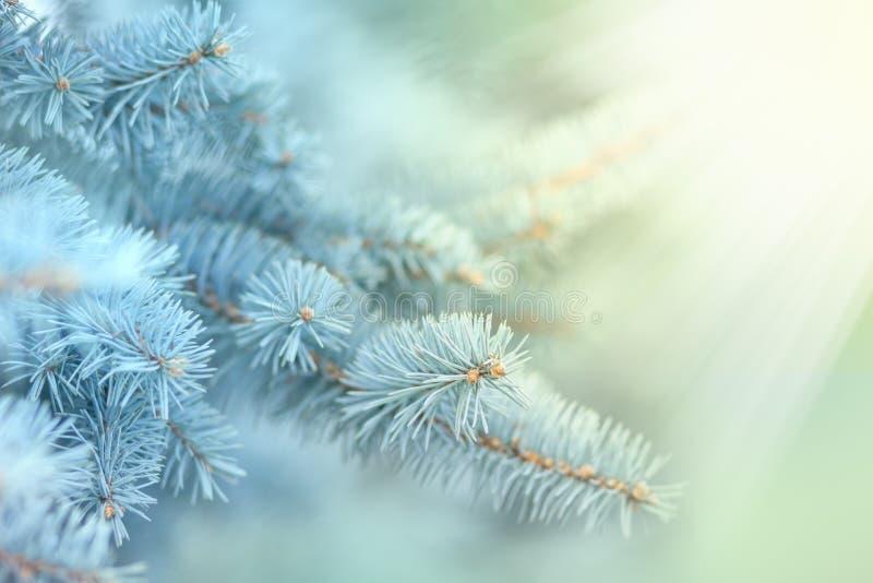 Rama del abeto en las luces del sol al aire libre imagen de archivo libre de regalías