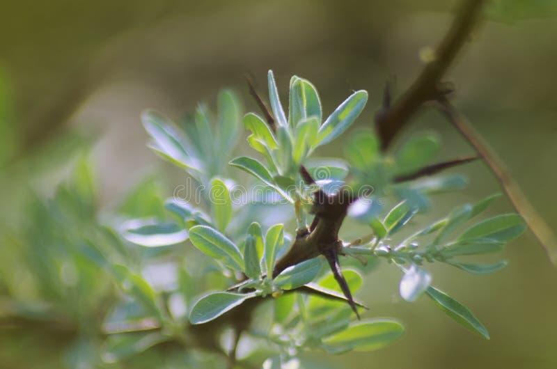 Rama del angustifolia del Elaeagnus con las hojas imagen de archivo libre de regalías