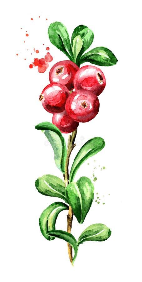 Rama del arándano Bayas frescas con las hojas Dé a acuarela exhausta el ejemplo vertical, aislado en el fondo blanco libre illustration