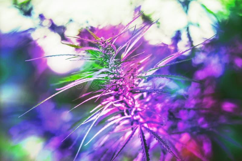 Rama del cáñamo y de la marijuana Ganja, árbol hermoso del cáñamo imágenes de archivo libres de regalías