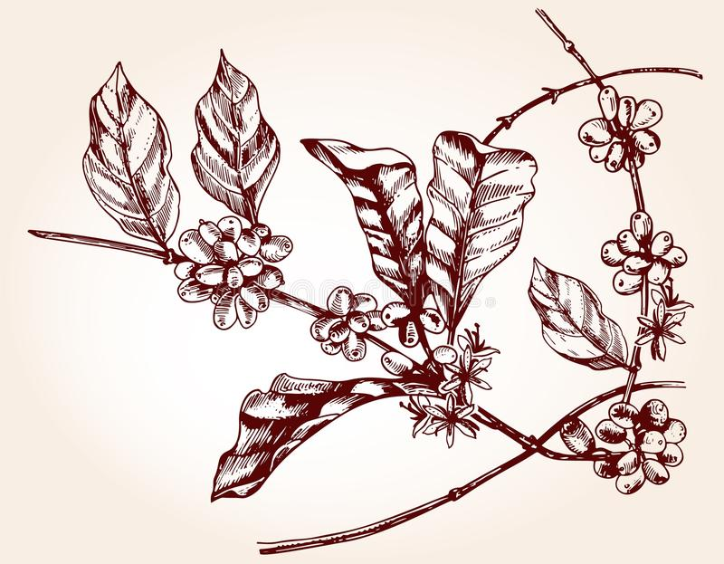 Rama del cafeto en estilo del bosquejo stock de ilustración