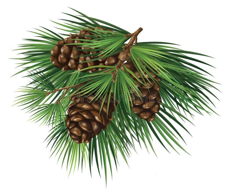 Rama del cedro con los conos stock de ilustración