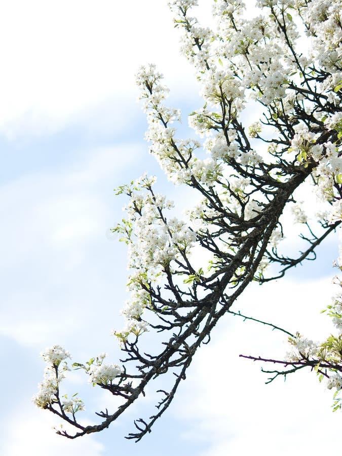 Rama del ciruelo florecido en el cielo de las primaveras fotos de archivo