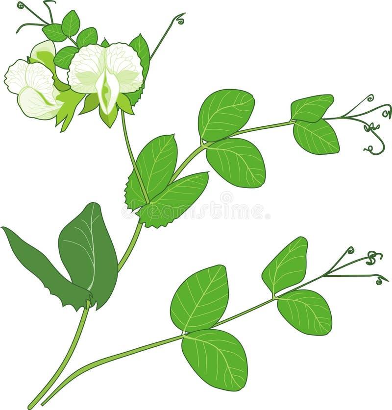 Rama del guisante con las flores y las hojas del verde aisladas en el fondo blanco ilustración del vector