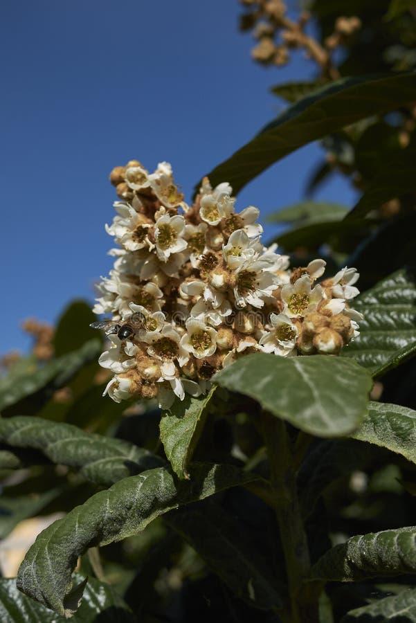 Rama del japonica del Eriobotrya imagen de archivo