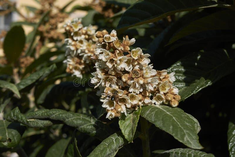 Rama del japonica del Eriobotrya fotos de archivo