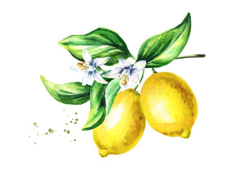 Rama del limón con las flores y las hojas de las frutas Mano de la acuarela dibujada foto de archivo