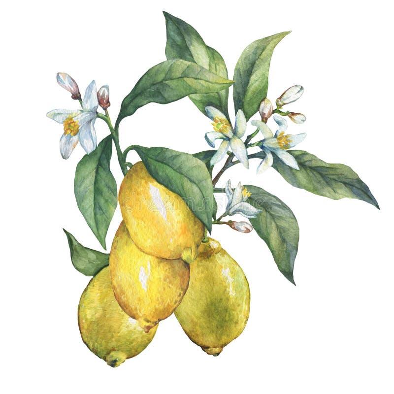 Rama del limón fresco de los agrios con las hojas y las flores del verde ilustración del vector