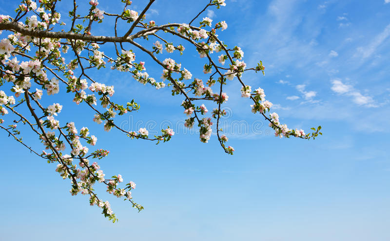 Rama del manzano aislada en fondo del cielo azul foto de archivo