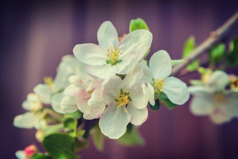 Rama del manzano con el instagram de la flor blanca foto de archivo libre de regalías