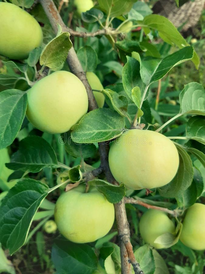 Rama del manzano con la fruta fotos de archivo