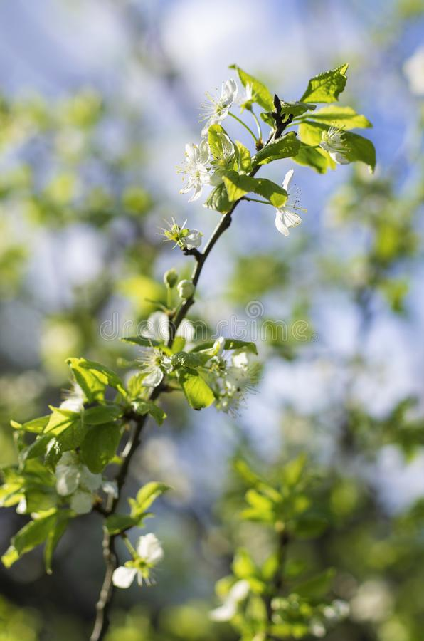 Rama del manzano con las flores blancas y las hojas verdes en primavera fotografía de archivo libre de regalías