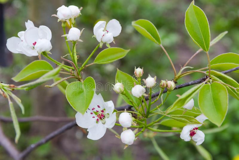 Rama del peral con el primer de las flores y de los brotes de flor fotografía de archivo libre de regalías