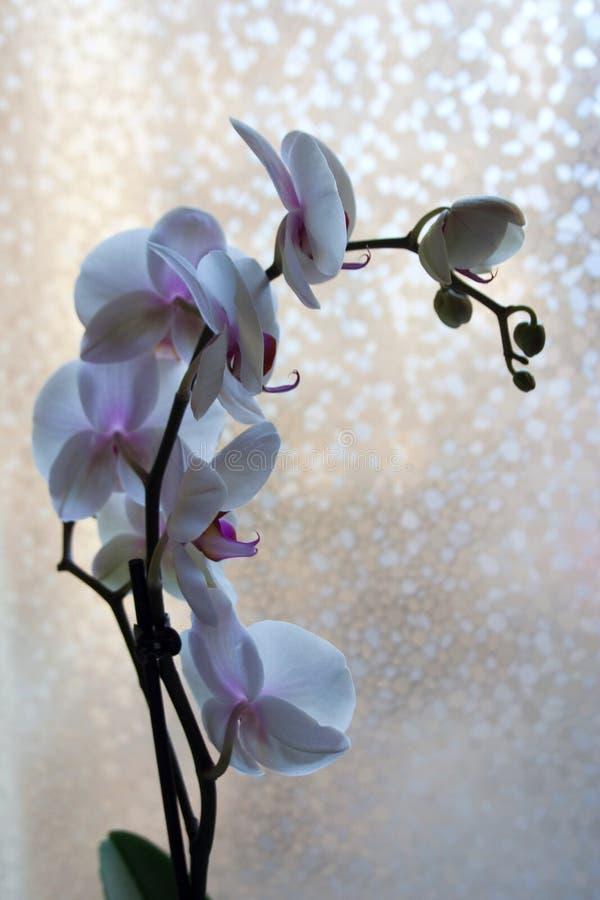 Rama del Phalaenopsis con las flores púrpuras y blancas fotografía de archivo libre de regalías