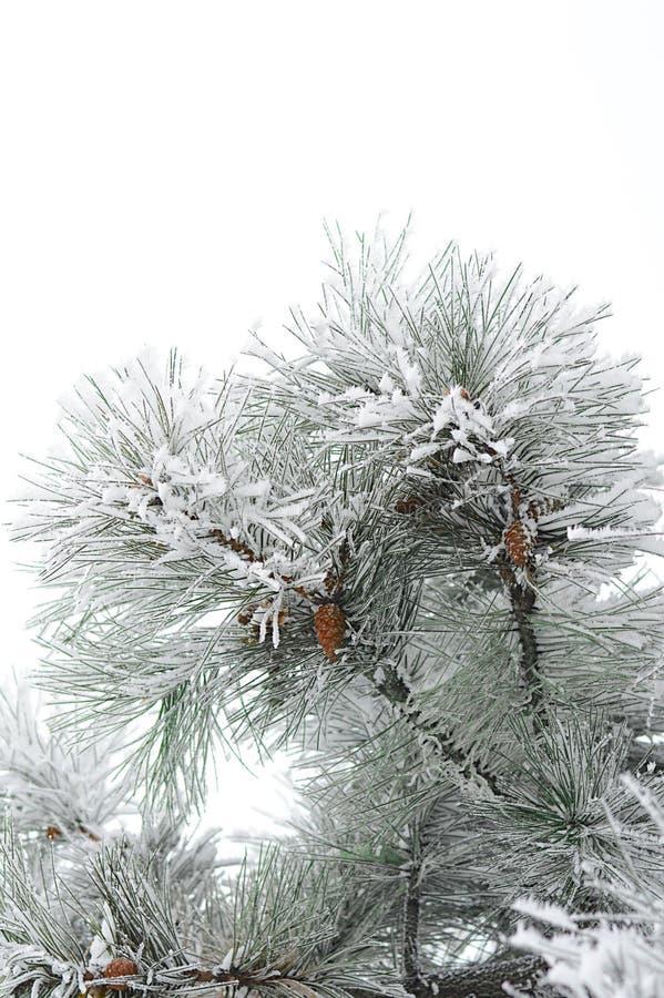 rama del Piel-árbol en el frío fotografía de archivo libre de regalías