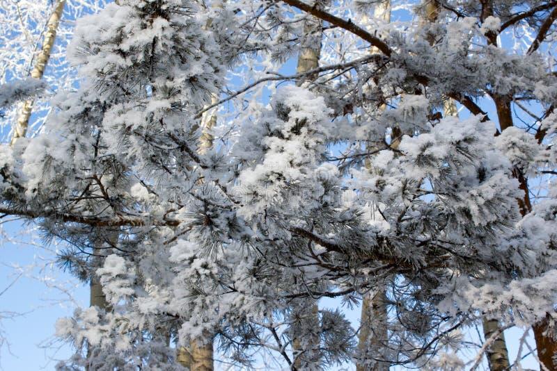 Rama del pino imagen de archivo
