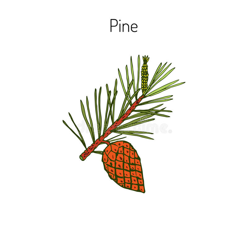 Rama del pino con el cono del pino libre illustration