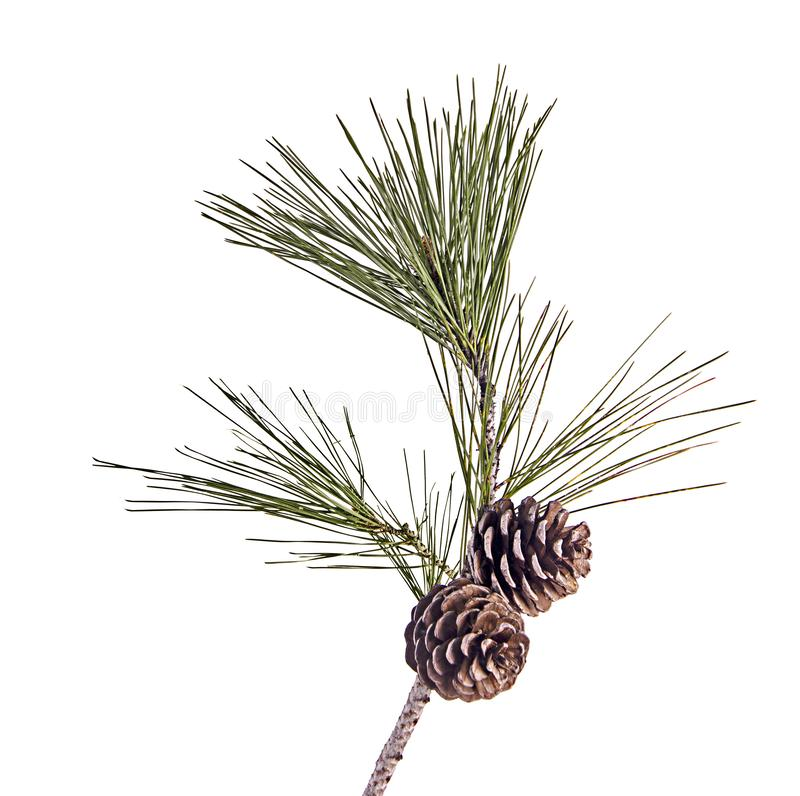 Rama del pino con los conos aislados en blanco imagen de archivo