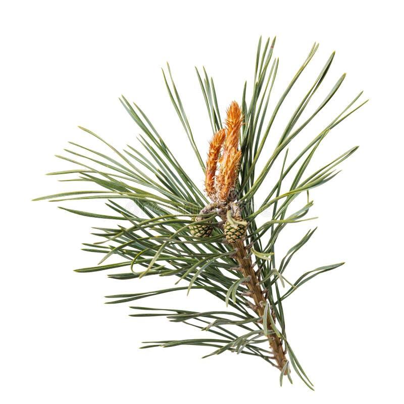 Rama del pino con los conos aislados imagen de archivo libre de regalías
