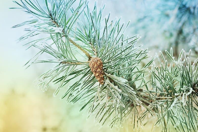 Rama del pino con los conos cubiertos con escarcha, helada o escarcha en un bosque nevoso imagenes de archivo