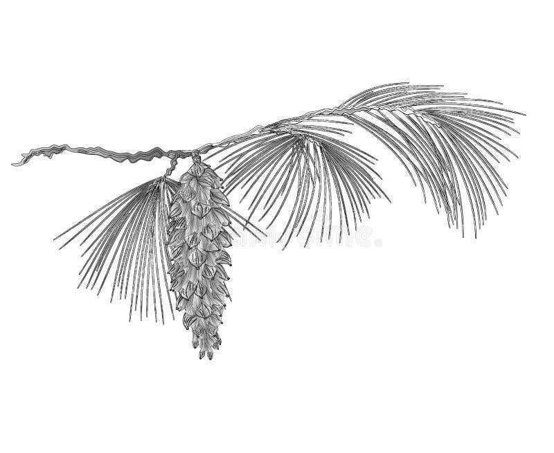 Rama del pino con los pinecones como vector del grabado del vintage stock de ilustración