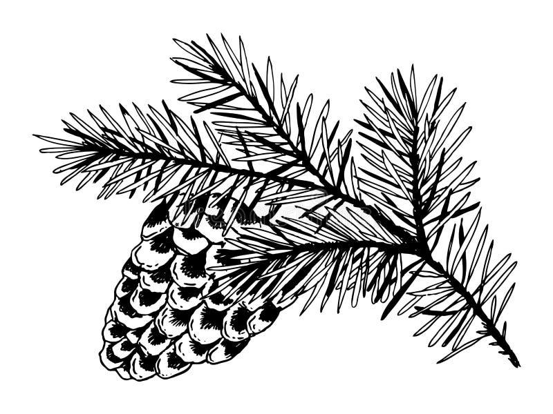 Rama del pino con vector del grabado del cono ilustración del vector