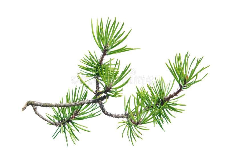 Rama del pino (contorta del pinus) aislada en blanco imagen de archivo
