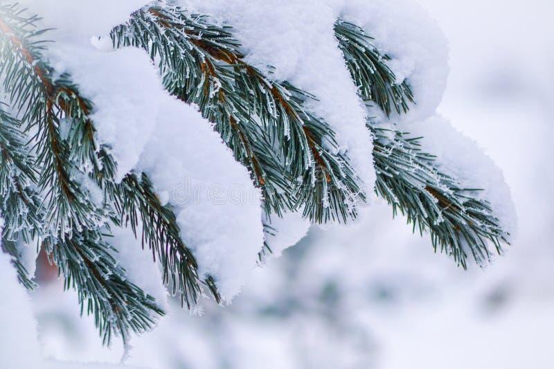 Rama del pino cubierta con nieve imágenes de archivo libres de regalías